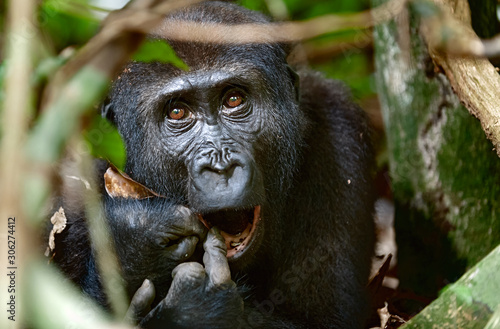 Fototapeta Portrait of a western lowland gorilla (Gorilla gorilla gorilla) close up at a short distance