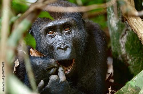 Fotografía Portrait of a western lowland gorilla (Gorilla gorilla gorilla) close up at a short distance