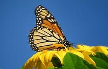 Beautiful Monarch Butterfly On Yellow Flower