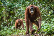 Bornean Orangutan In The Wild ...