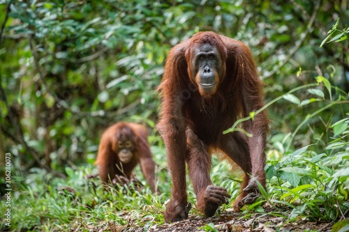 Fototapeta Bornean orangutan in the wild nature. Central Bornean orangutan ( Pongo pygmaeus wurmbii )  in natural habitat. Tropical Rainforest of Borneo.Indonesia obraz