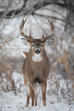 Big Buck In Snow