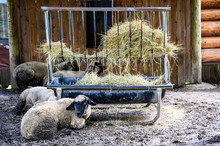Sheep In A Dirt Floor Pin With...