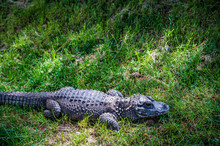Chinese Alligator Resting In G...