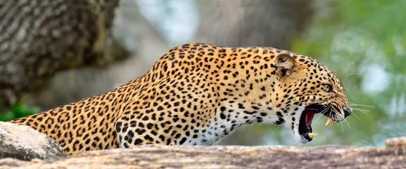 FototapetaLeopard roaring. Leopard on a stone. The Sri Lankan leopard (Panthera pardus kotiya) female. Yala National Park. Sri Lanka