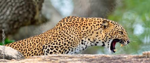 Fotografering Leopard roaring