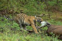 Tiger Eating Meat, Panthera Ti...