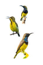 Male Olive-backed Sunbird Perc...