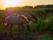 Sonnenuntergang Junges Woldpferd Niederlande