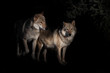 pair of wolves male and female in the darkness of the fox, black background bushes in the background is night.