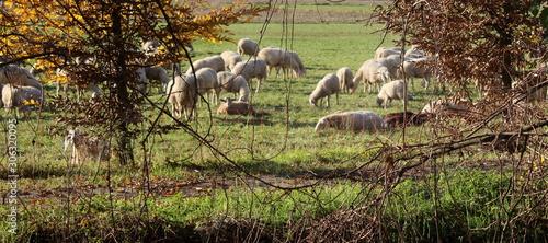 Fotografie, Obraz Gregge di pecore al pascolo in campagna