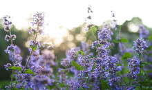 Blue Wildflowers (deadnettle F...