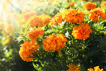 Sunlit Marigold Orange Flowers...