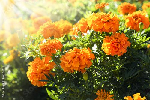 Cuadros en Lienzo  Sunlit marigold orange flowers in the flowerbed.