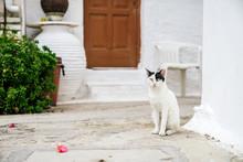 White Cat With Black Ears Sitt...