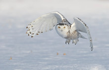 Snowy Owl (Bubo Scandiacus) Fl...