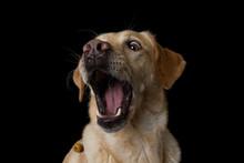 Labrador Retriever Dog Snaps A Treats