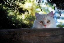 Closeup Shot Of A Cute Fluffy White Cat Looking Straight At The Camera Standing Near A Tree Log