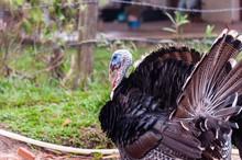 Black Turkey Walking Alone On A Farm With A Blurred Background