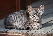 Street Kitten Of A Beautiful Tiger Color