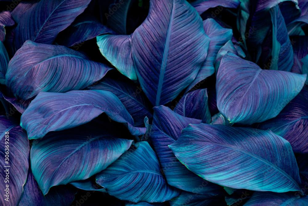 liście Spathiphyllum cannifolium, streszczenie tekstura zielony, tło przyrody, tropikalny liść