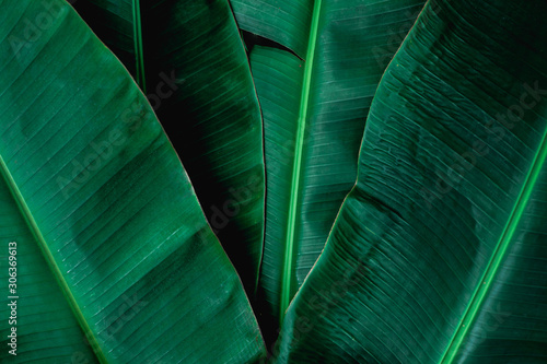 Fototapeta tropical banana leaf, abstract green banana leaf, large palm foliage nature dark green background obraz na płótnie