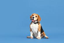 Adorable Beagle Dog On Color B...