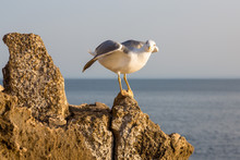 Seagull Perched On A Rock At Cascais, Portugal