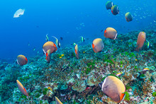 A School Of Red-tail Butterflyfish On A Tropical Coral Reef