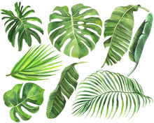 Set Of Palm, Monstera, Banana Leaves Of Tropical Forests On An Isolated White Background, Watercolor Stock Illustration,  Jungle Drawing.