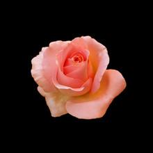 Beautiful Orange Rose Isolated On A Black Background