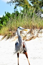 Vertical Shot Of A Funny Great Blue Heron In A Sandy Area Near Green Plants On A Sunny Day