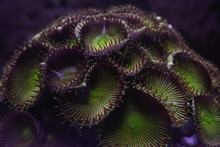 Round Green And Purple Corals ...