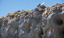 Fosiles Marinos De Conchas Y C...