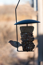 Red Breasted House Finch In New Mexico.