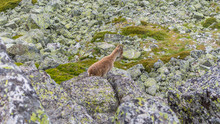 Spanish Wild Goats At La Pediz...