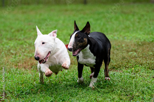 Tela Two mini bull terriers running and playing