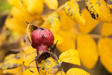 Rosa Rugosa Orange Rosehips And Yellow Leaves In Late Autumn