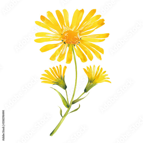 Photo watercolor arnica flowers