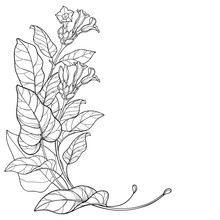 Corner Bunch Of Outline Toxic Tobacco Plant Or Nicotiana Flower, Bud And Leaf In Black Isolated On White Background.