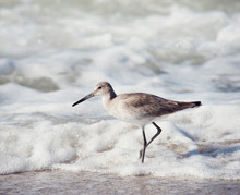 Willet . Shore Bird Walking Ne...