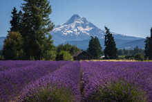 Old Barn And Mount Hood With Rows Of Lavender Bushes