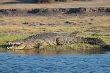 Nile Crocodile At The Chobe River, Botswana, Africa