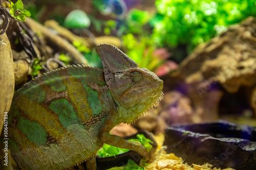 Tropical lizard in terrarium Canvas Print