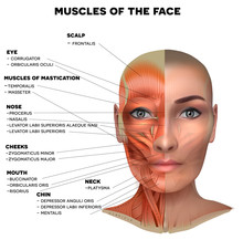 Facial And Neck Muscles Of The...