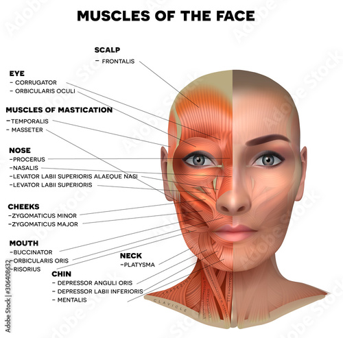 Facial and neck muscles of the female, half of the face muscles and half skin, e Fototapet