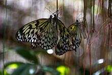 Butterflies - Bohol Island (Philippines)