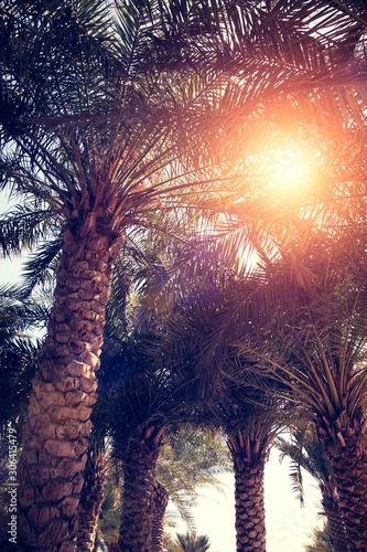 Motiv-Rollo Basic - Palm trees against blue sky, Palm trees at tropical coast, vintage toned and stylized, coconut tree, summer tree, vacation travel concept (von Aleksandr Matveev)