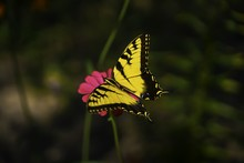 Selective Focus Shot Of A Gorgeous Yellow Butterfly Sitting On A Pink Flower With Blurred Background
