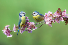 Two Eurasian Blue Tit (Cyanist...